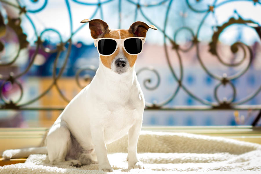 A dog with sunglasses