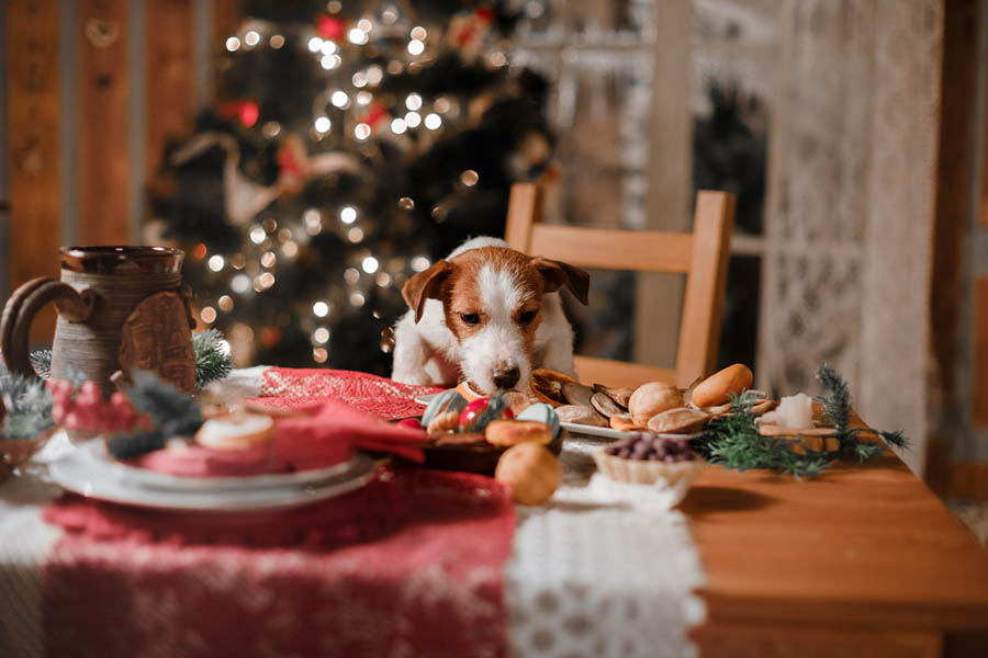 A Jack Russell dog on the table about to eat the Christmas food.