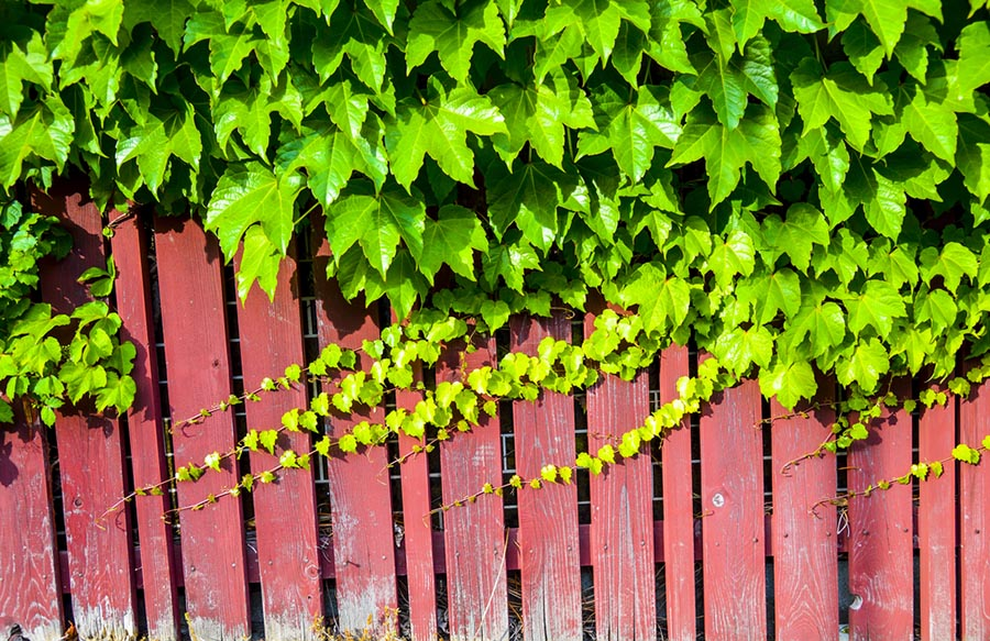 Vines growing along a wooden fence
